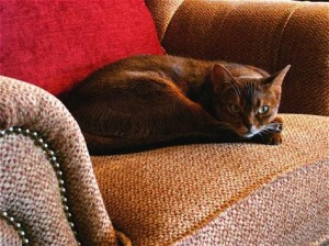 How To Eliminate Cat Urine Odor From Upholstery First